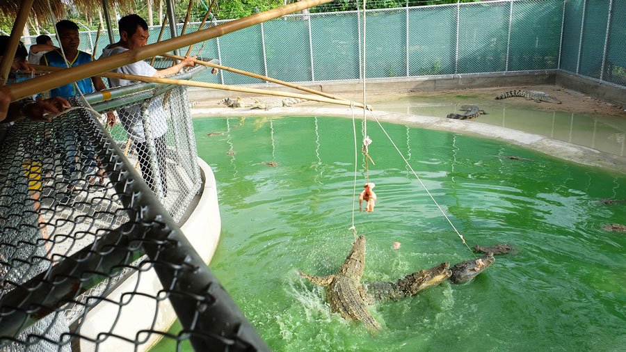 Crocodile Feeding Tour in Pattaya